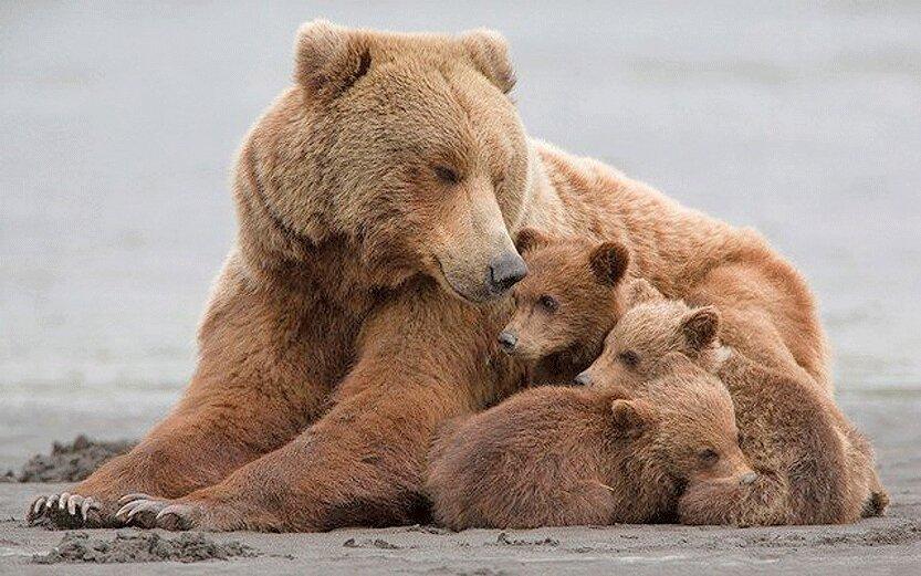ضرورت حفاظت از قلمروی خرس قهوه ای در آذربایجان شرقی