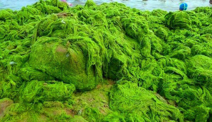 جلبک عصر یخبندان در اقیانوس اطلس