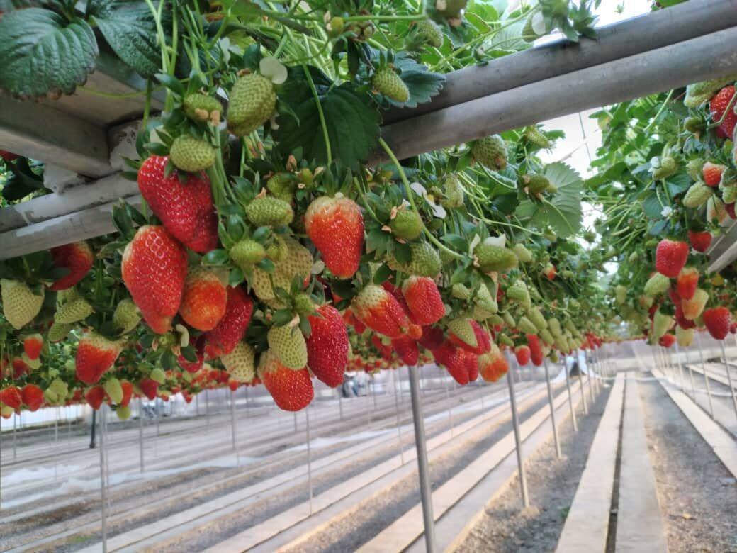 خبرنگاران کشاورزان البرز به تولید محصولات سالم تشویق می شوند