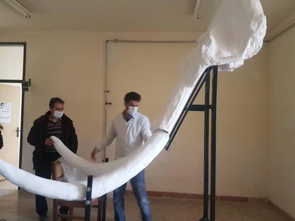خبرنگاران بازسازی و نصب جمجمه فسیل ماموت دو میلیون ساله در موزه اردبیل