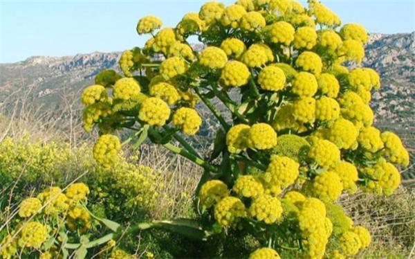 در مورد گیاه آنقوزه و خواص آن چه می دانید؟